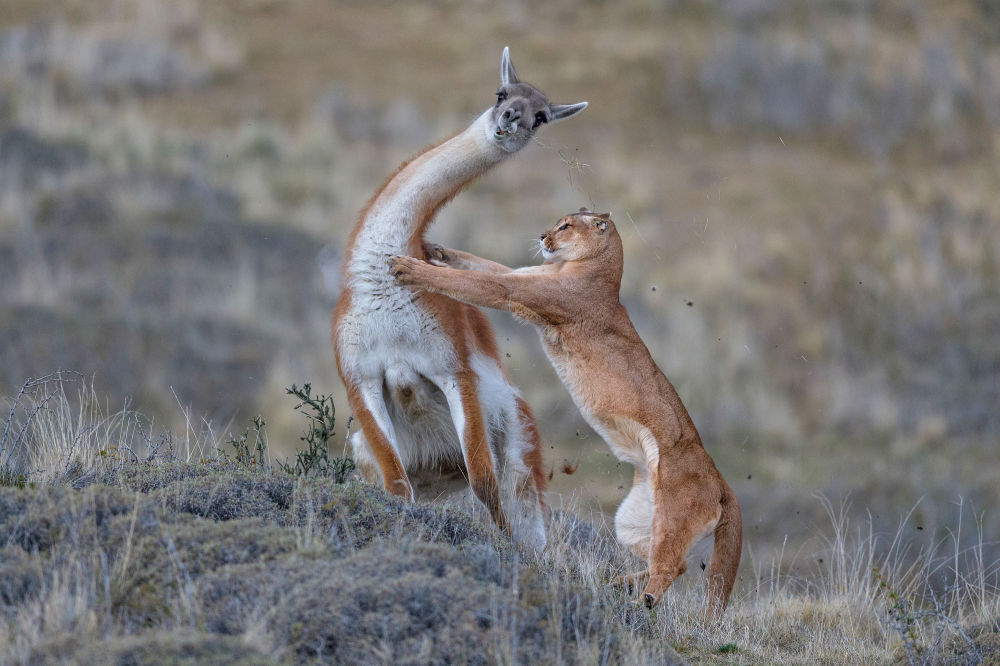 Снимок A puma hunting a fully-grown male guanaco немецкого фотографа Ingo Arndt, победивший в категории MAMMALS конкурса GDT European wildlife photographer of the year 2019