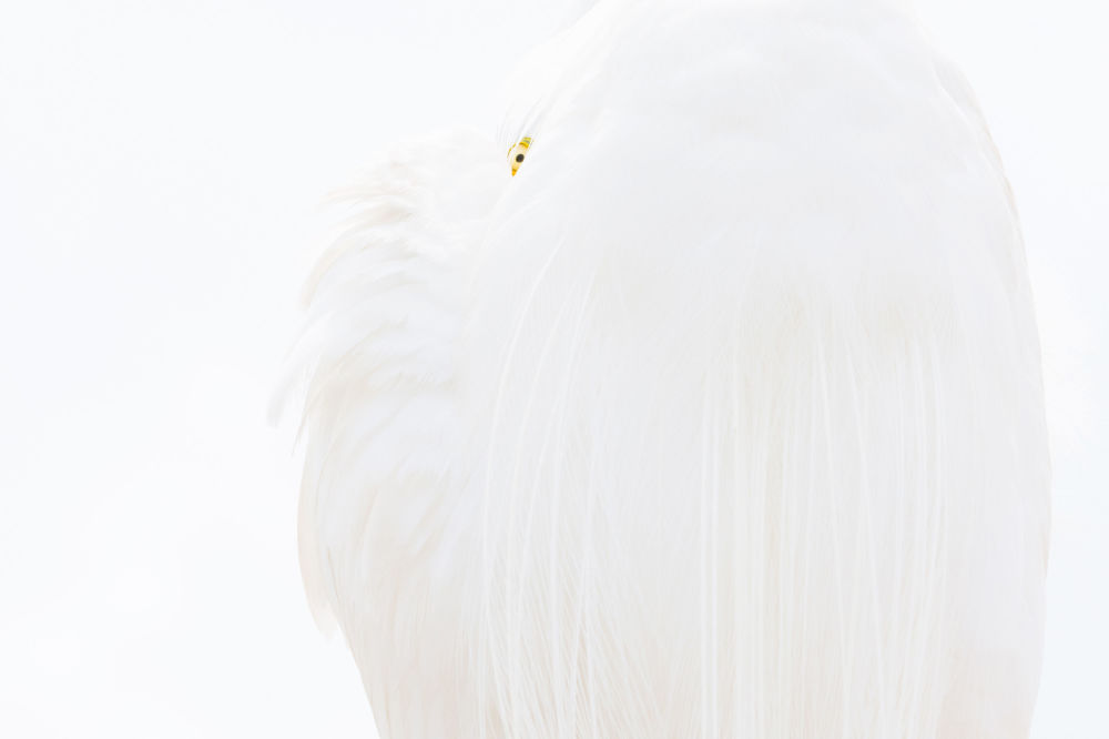 Снимок Great white egret немецкого фотографа Dr. Siegmar Bergfeld, победивший в категории BIRDS конкурса GDT European wildlife photographer of the year 2019